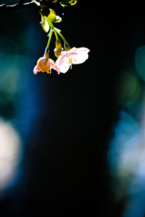 桜の素材 [FYI00115817]
