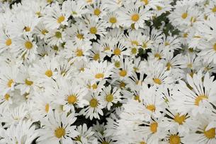 白い小菊の写真素材 [FYI00115871]