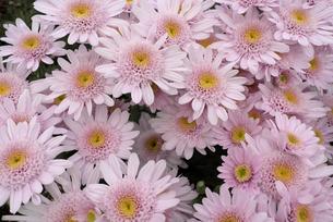 薄いピンクの小菊の写真素材 [FYI00115872]