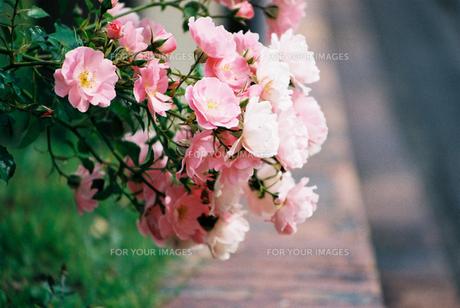 うすいピンクのバラの素材 [FYI00115873]