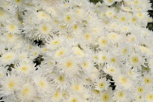 白い小菊の写真素材 [FYI00115882]