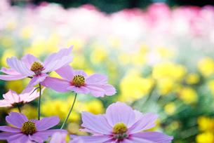 薄いピンクのコスモスの写真素材 [FYI00115947]