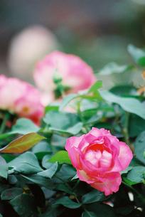 ピンクのバラの素材 [FYI00115985]