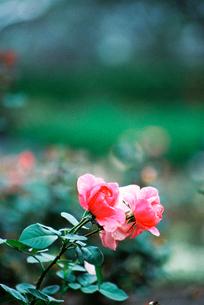 ピンクのバラの素材 [FYI00115990]