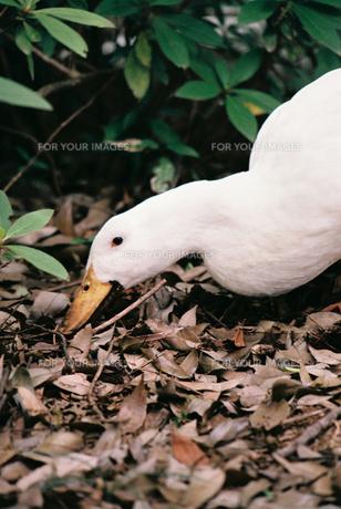 落ち葉をつつくアヒルの写真素材 [FYI00115991]