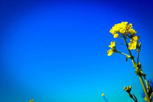 青空と菜の花の素材 [FYI00116015]