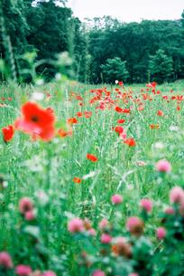 赤いポピー畑の素材 [FYI00116044]