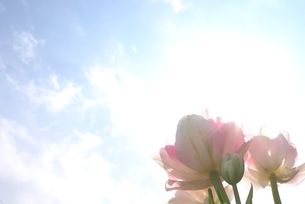 薄いピンクのチューリップと青空の写真素材 [FYI00116116]