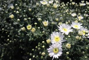 白い小菊の素材 [FYI00116191]