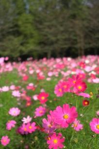 ピンクのコスモス畑の素材 [FYI00116198]