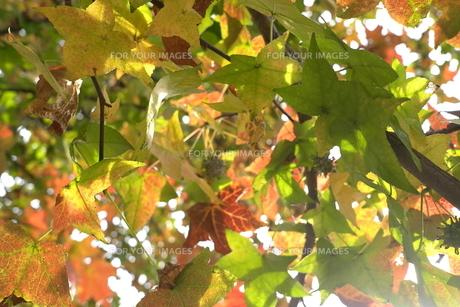 モミジバフウの紅葉の素材 [FYI00116208]