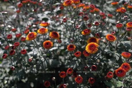 オレンジの小菊の素材 [FYI00116215]