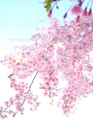 風になびく枝垂れ桜の素材 [FYI00116268]