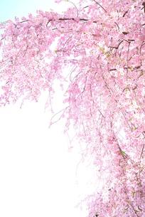 枝垂れ桜の素材 [FYI00116270]