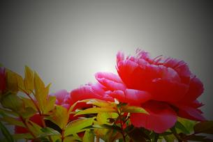 牡丹の花と葉の写真素材 [FYI00116271]