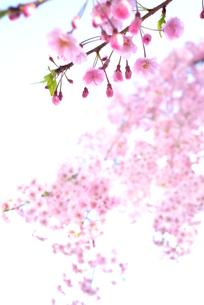 枝垂れ桜の素材 [FYI00116279]