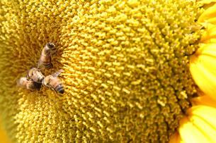 ヒマワリとミツバチの素材 [FYI00116348]