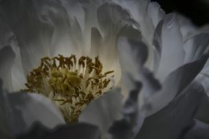 白い牡丹の写真素材 [FYI00116350]