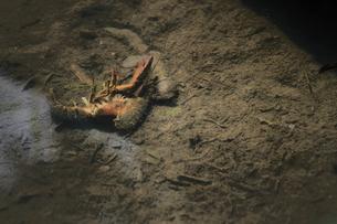 アメリカザリガニ脱皮中の写真素材 [FYI00116352]
