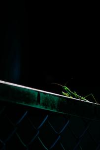 フェンスの上のカマキリの素材 [FYI00116354]