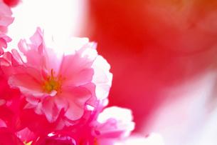 八重桜の素材 [FYI00116388]