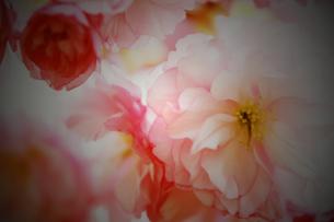 八重桜の素材 [FYI00116392]