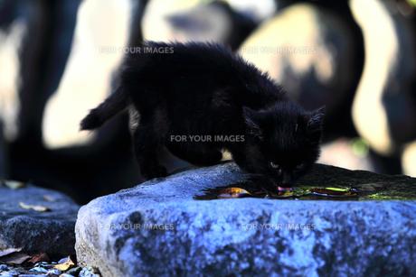 水を舐める黒い子猫の素材 [FYI00116397]