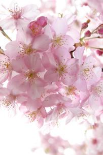 桜の素材 [FYI00116400]