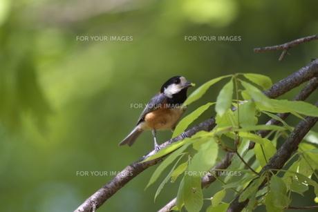 木の芽を啄むヤマガラの写真素材 [FYI00116429]