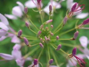 咲き始めのクレオメの花の写真素材 [FYI00116435]