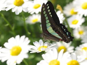 ノースポールの花に留まるアオスジアゲハの写真素材 [FYI00116439]
