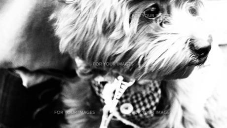 犬の散歩の写真素材 [FYI00116565]
