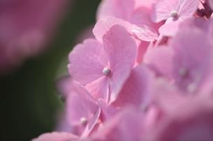 紫陽花の写真素材 [FYI00116584]