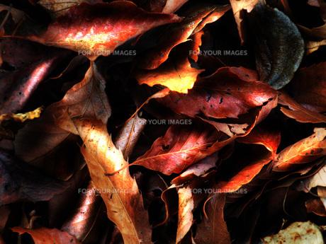 落葉の写真素材 [FYI00116593]