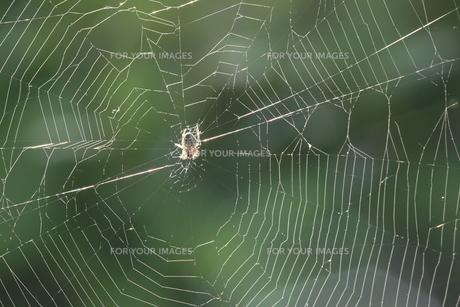 クモの巣の写真素材 [FYI00116606]