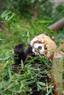 お食事中のレッサーパンダの写真素材 [FYI00116922]