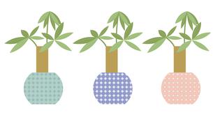 観葉植物パキラ3色セットの写真素材 [FYI00116979]