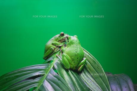 2匹のカエルの素材 [FYI00117007]
