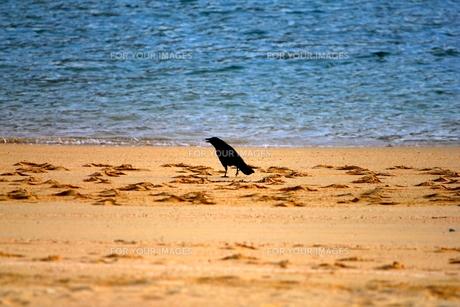浜辺に佇む一羽のカラスの写真素材 [FYI00117095]