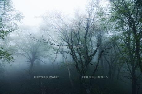 朝靄の森の素材 [FYI00117154]