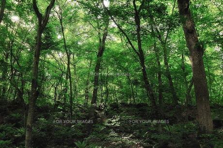 新緑の森の素材 [FYI00117156]