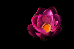 蓮の花の素材 [FYI00117206]