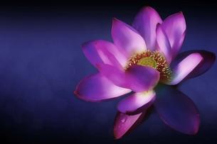 蓮の花の素材 [FYI00117224]