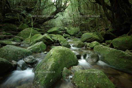 苔の清流の写真素材 [FYI00117244]