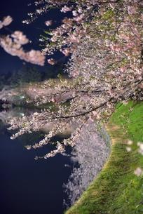 青森県弘前市弘前公園夜桜の素材 [FYI00117306]