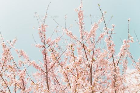 伸びゆく春の写真素材 [FYI00117568]