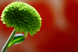 green flowerの写真素材 [FYI00117579]
