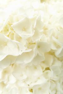 白いアジサイの素材 [FYI00117606]