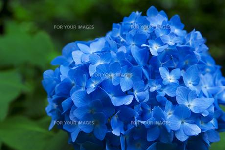 青いアジサイの素材 [FYI00117610]