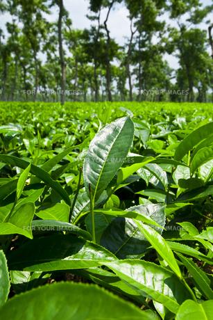 スリモンゴルの茶畑の素材 [FYI00117616]